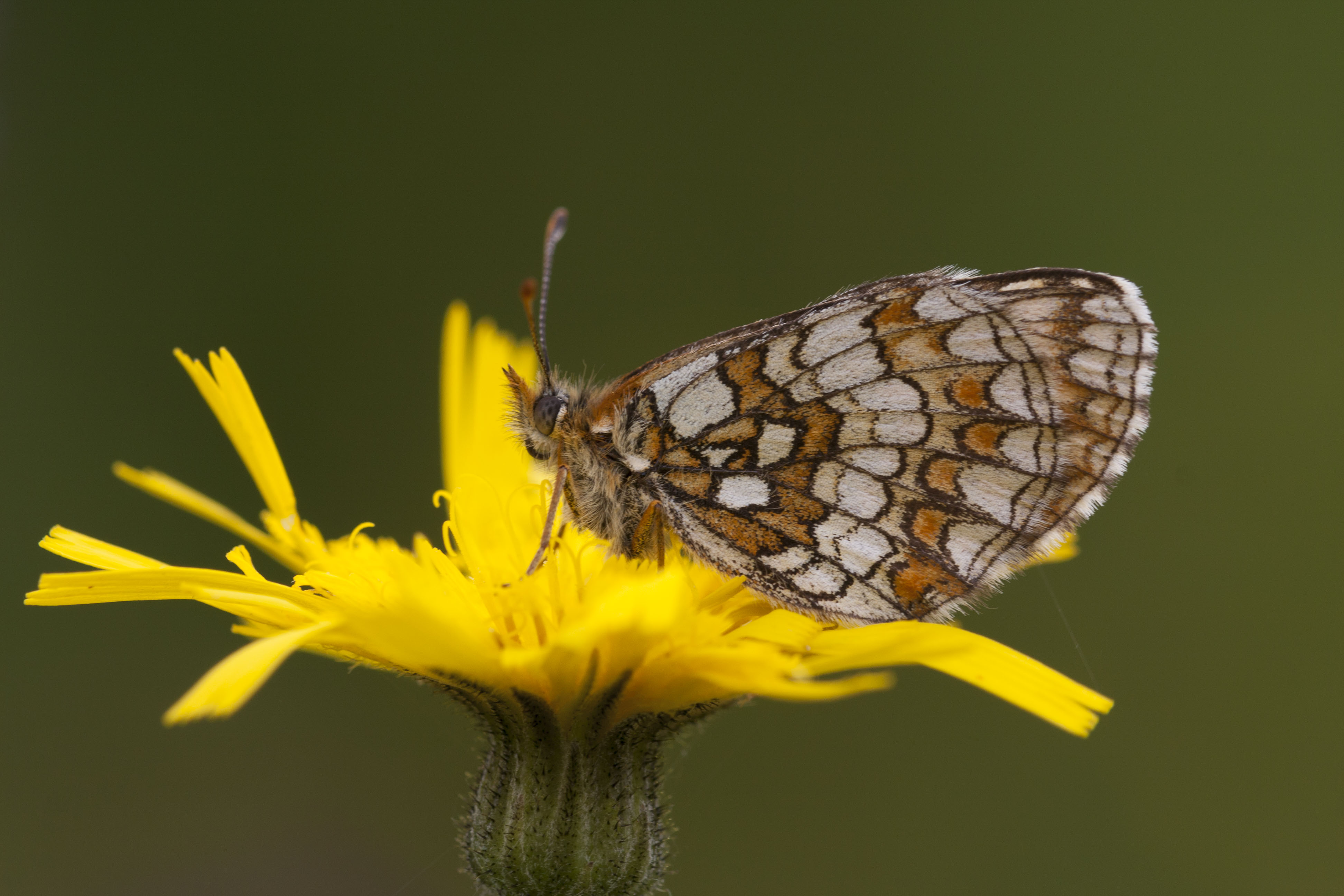 Nickerl's Fritillary