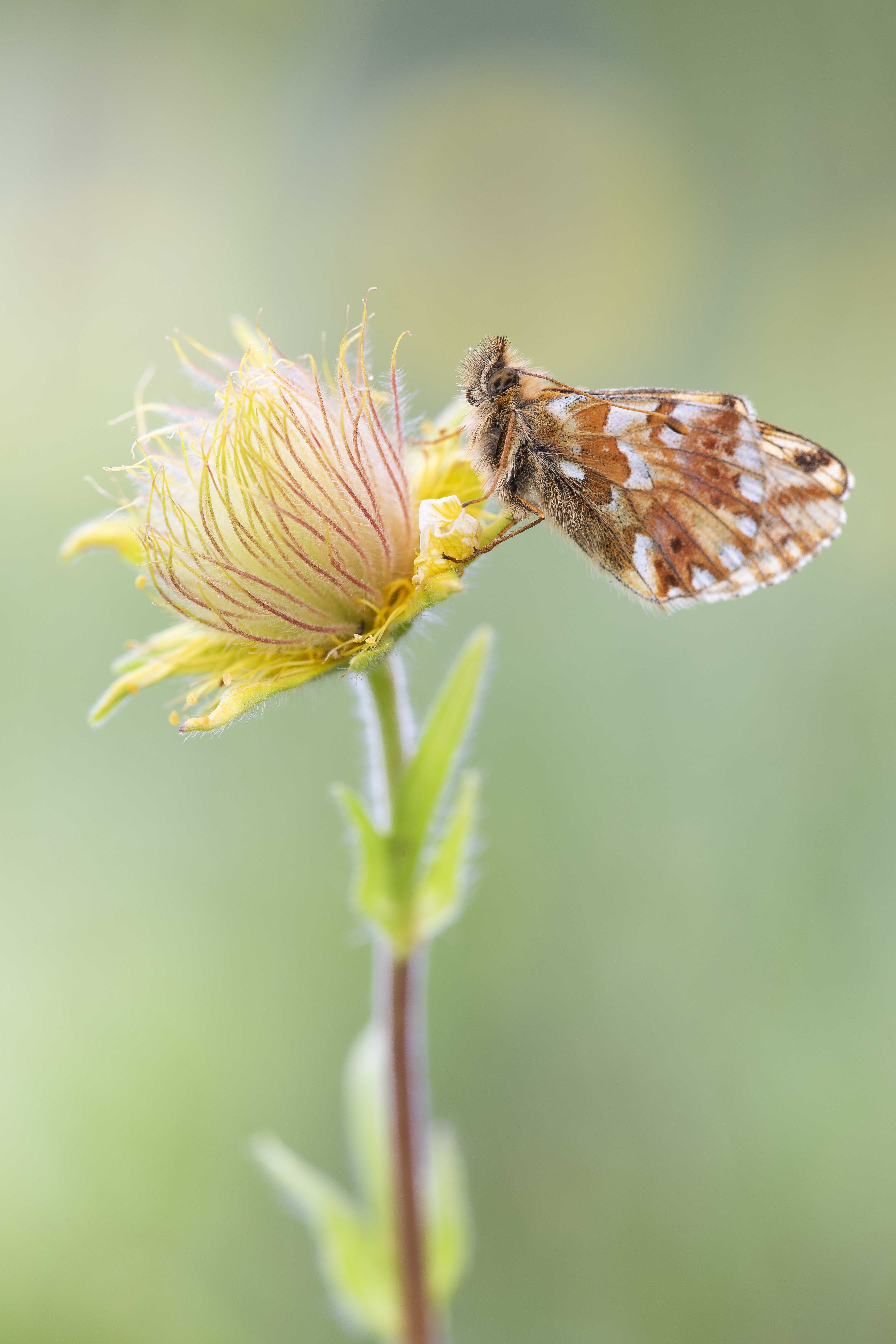Mountain fritillary