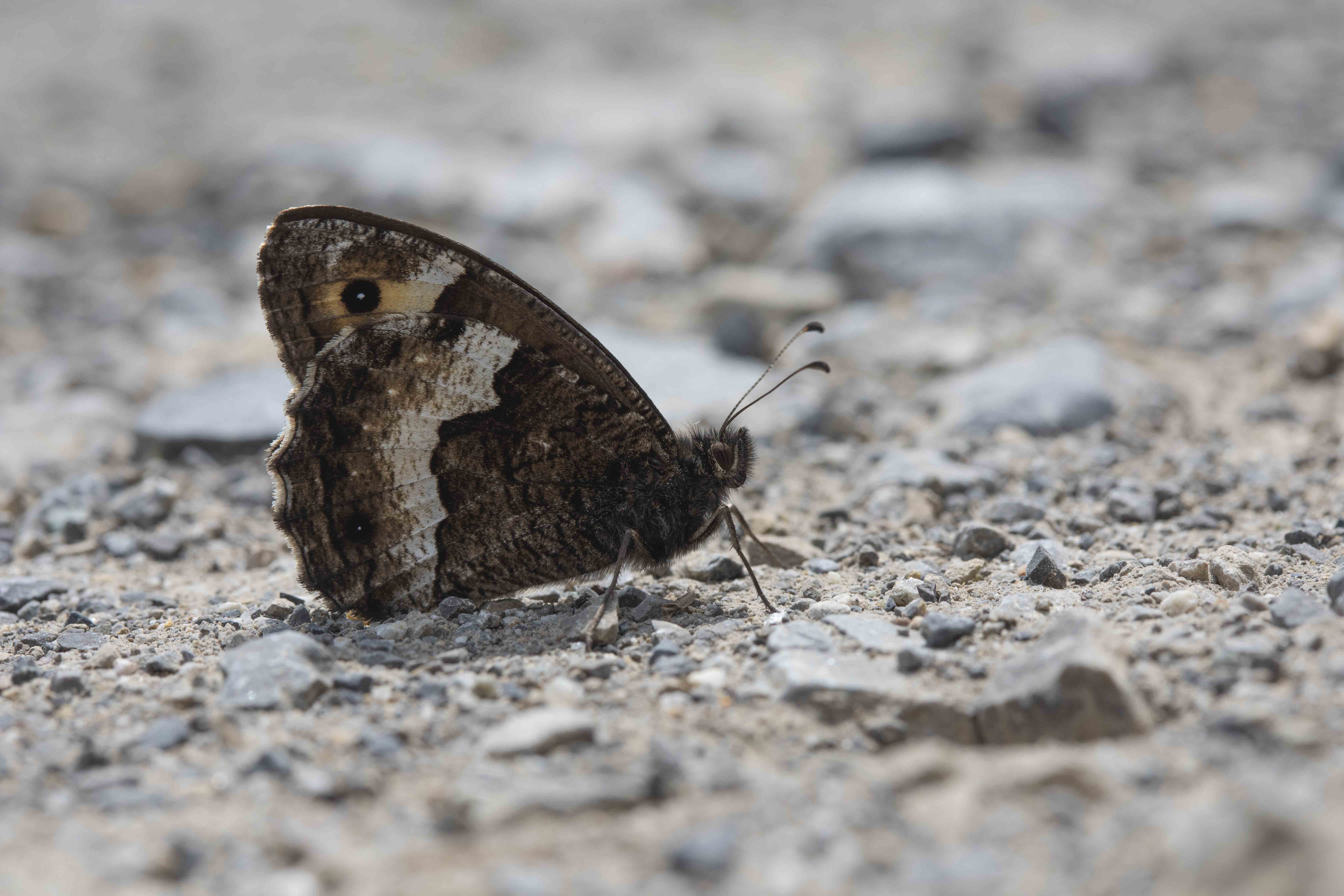 Boswachters  - Hipparchia Genus