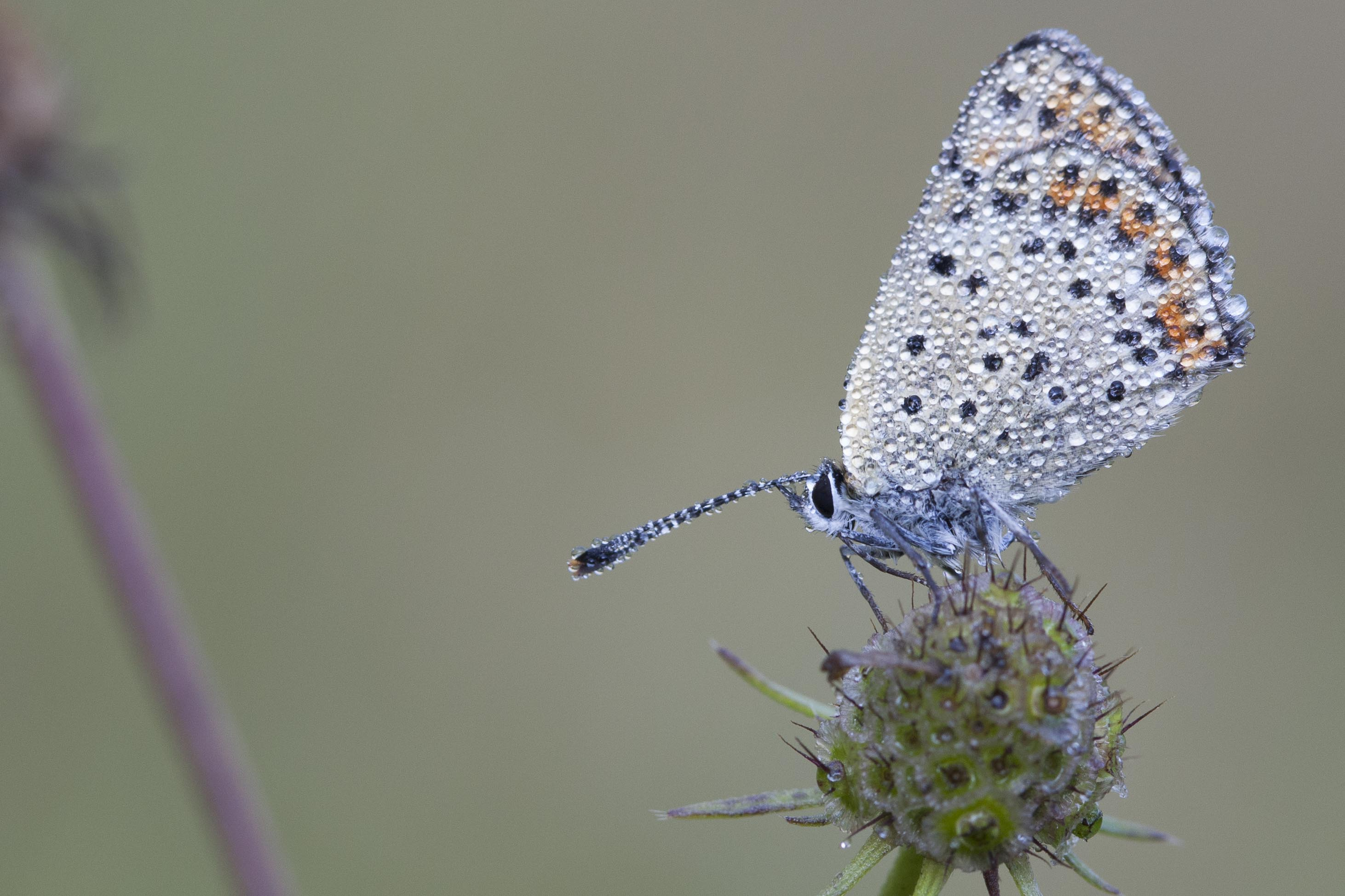 Rode vuurvlinder  - Lycaena hippothoe